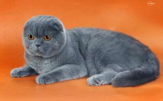 Шотландские вислоухие кошки кормление и особенности ухода