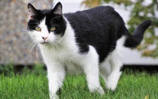 Почему кошка может хромать на заднюю лапу