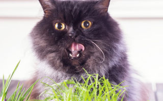 Как можно вызвать рвоту у кота