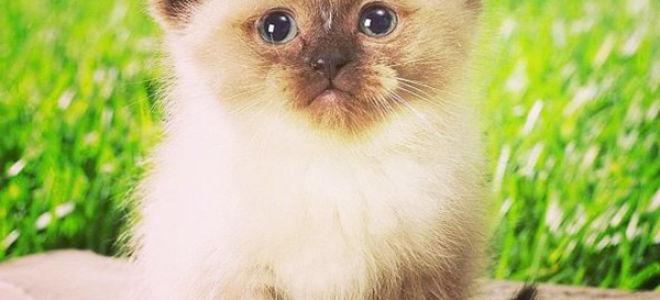 Как можно назвать сиамского кота