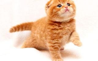 Чем кормить шотландского вислоухого котенка в домашних условиях
