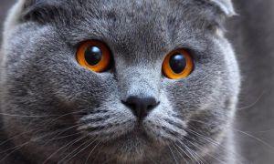 Описание шотландской вислоухой кошки
