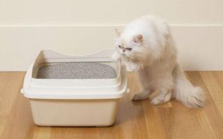 Симптомы и лечение пиелонефрита у кошек