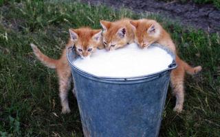 Можно ли давать молоко шотландским котятам
