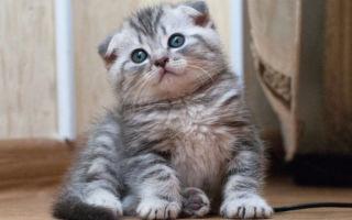 Как достойно назвать шотландского котенка мальчика