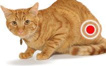 Воспаление мочевого пузыря (цистит) у кота симптомы и методы лечения