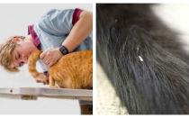 Признаки гельминтозов у кошек симптомы и лечение глистов