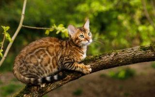 Как можно назвать бенгальскую кошку