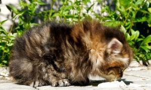 Можно ли давать сметану котятам