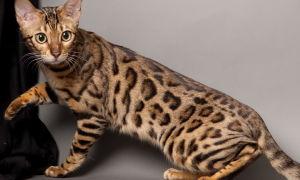 Содержание бенгальского кота
