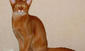 Грациозный абиссинский кот темперамент и условия содержания