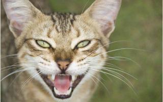 Виды заболеваний полости рта у кошек