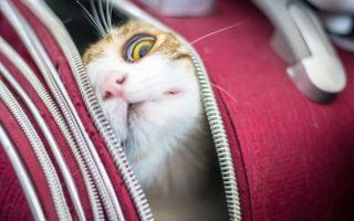 Нужно перевезти кошку в самолете — как это сделать