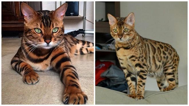 бенгальскоие коты