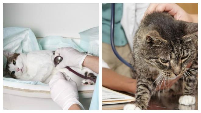 диагностика цистита у котов