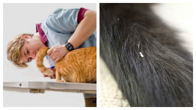 гельминтоз у кошек