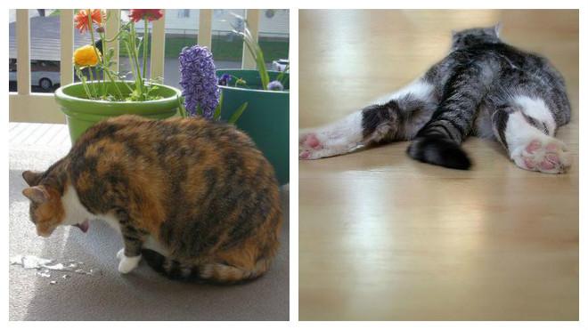 признаки заражения кошки глистами
