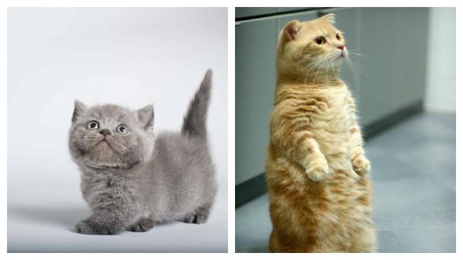 характер кошек манчкин