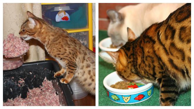 еда бенгальской кошки