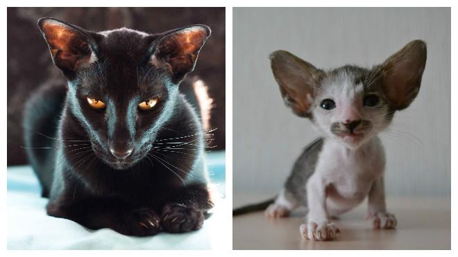 порода ориентальных кошек