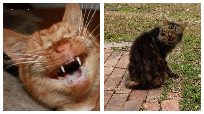 лечение чиханья у кошек