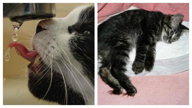 симптомы почечной недостаточности у кошек