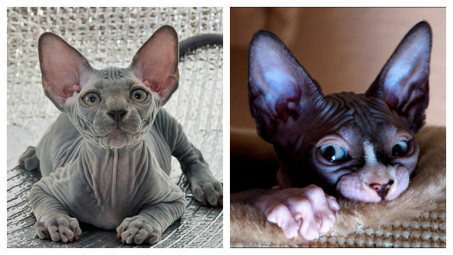 характер кошек сфинкс