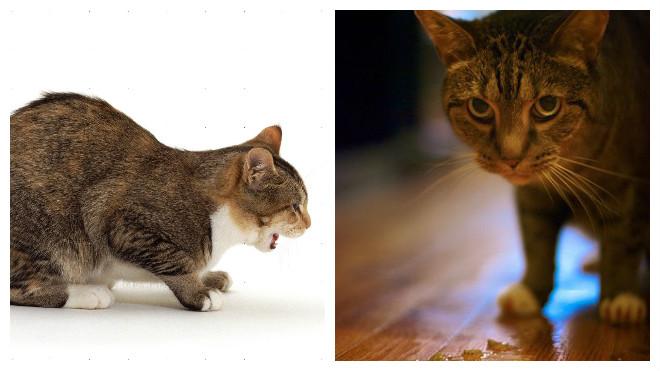 причины рвоты у котов