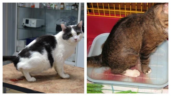 проявление цистита у кошек