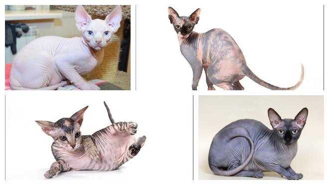 окрас кошек сфинкс