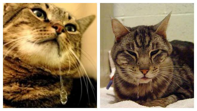обильное слюновыделение у котов