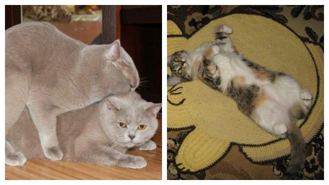 вязку котов и кошек