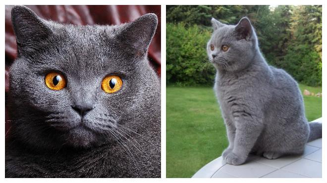 здоровая британская кошка