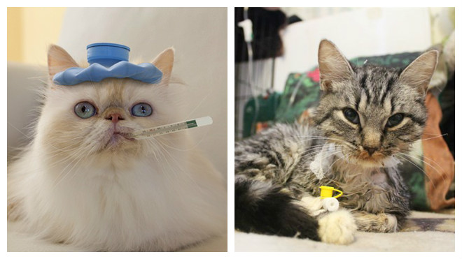 Слабые суставы у кошки рука не разгибается в локтевом суставе после гипса