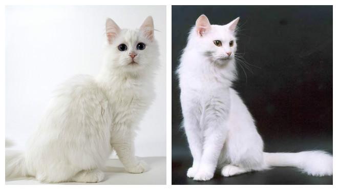 характер турецкой ангорской кошки
