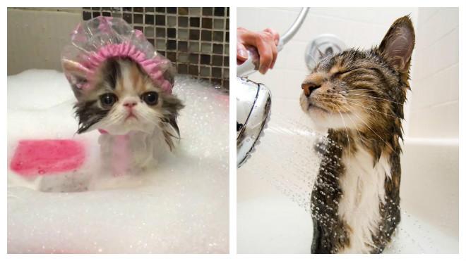 Как часто купают кошек?