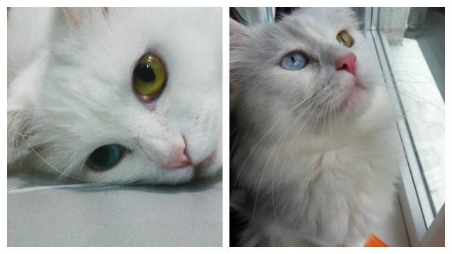 вязка турецкой ангорской кошки
