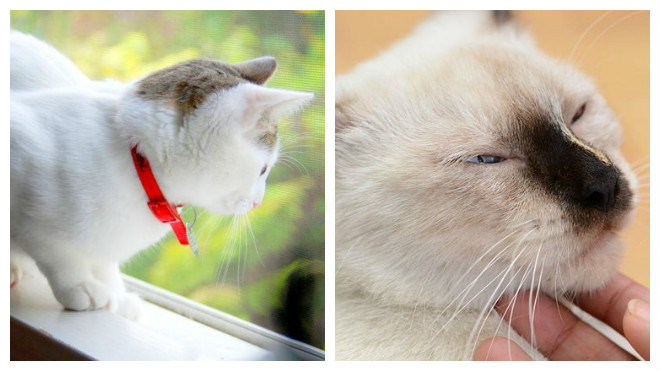 Как успокоить кошку во время течки?