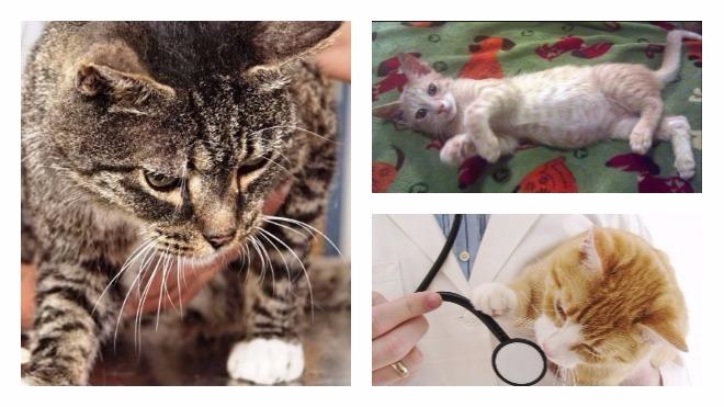 диагностика вирусного перитонита у кошек