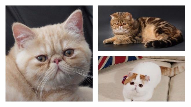 описание породы снупи кот