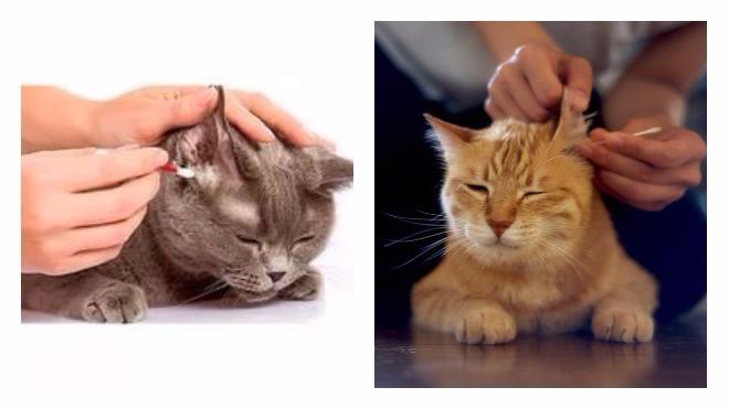 Как самостоятельно чистить уши кошке