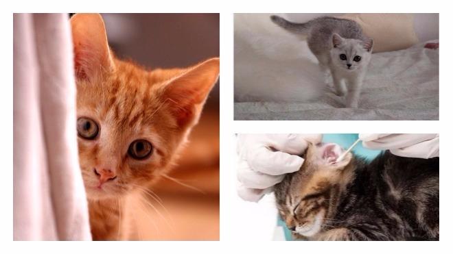 чистка ушей котят