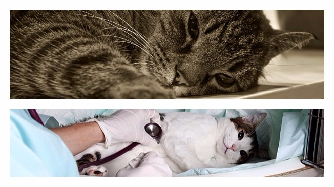 появление вирусногоперитонита у кошек