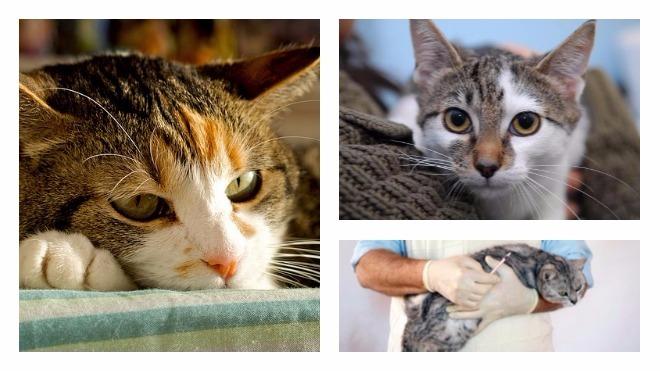симптомы вирусного перитонита у кошек