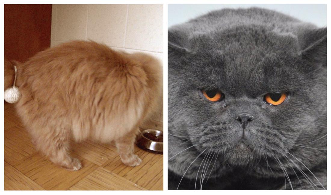 Чем кормить кота после кастрации