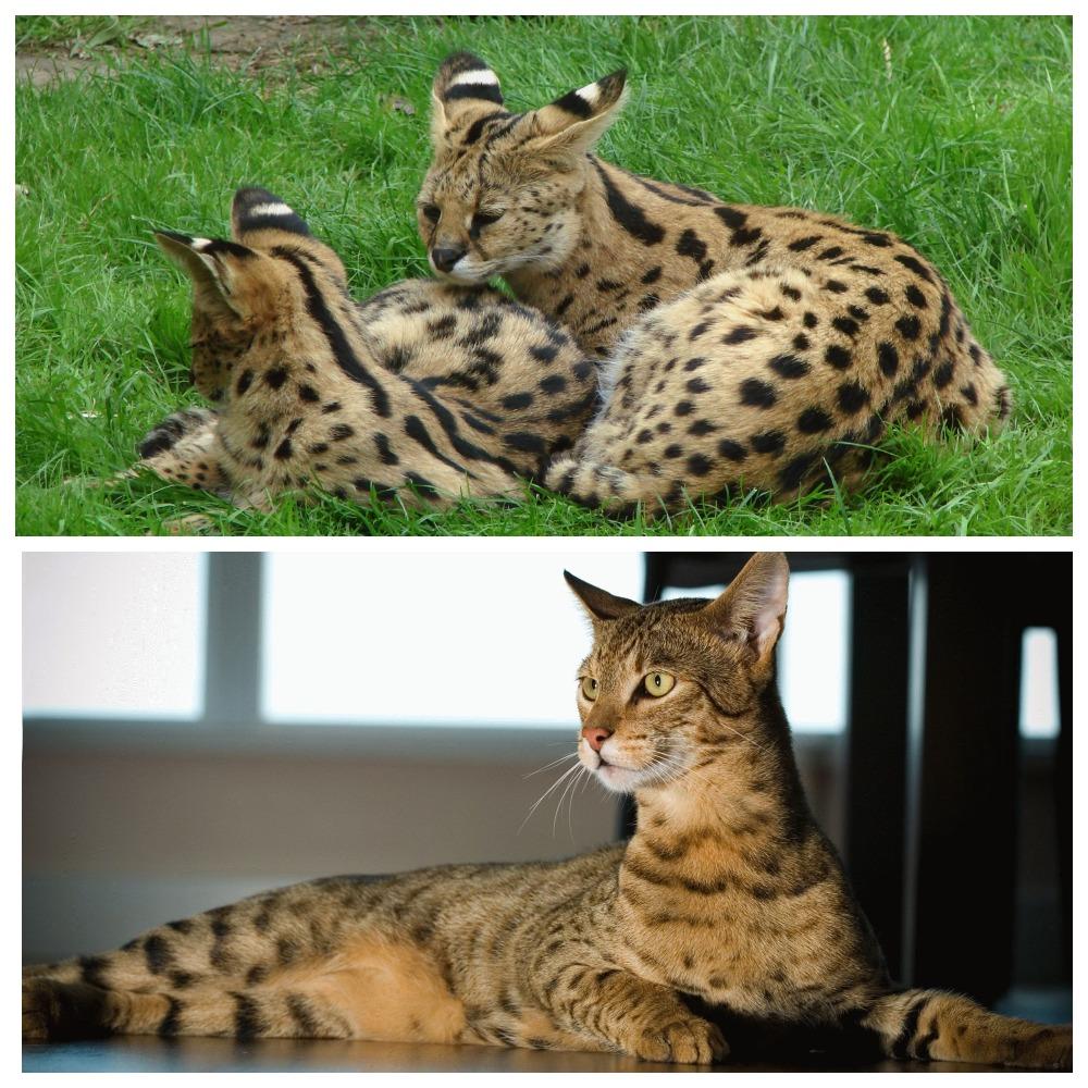 Кошки саванна - это необычные, яркие и дружелюбные компаньоны
