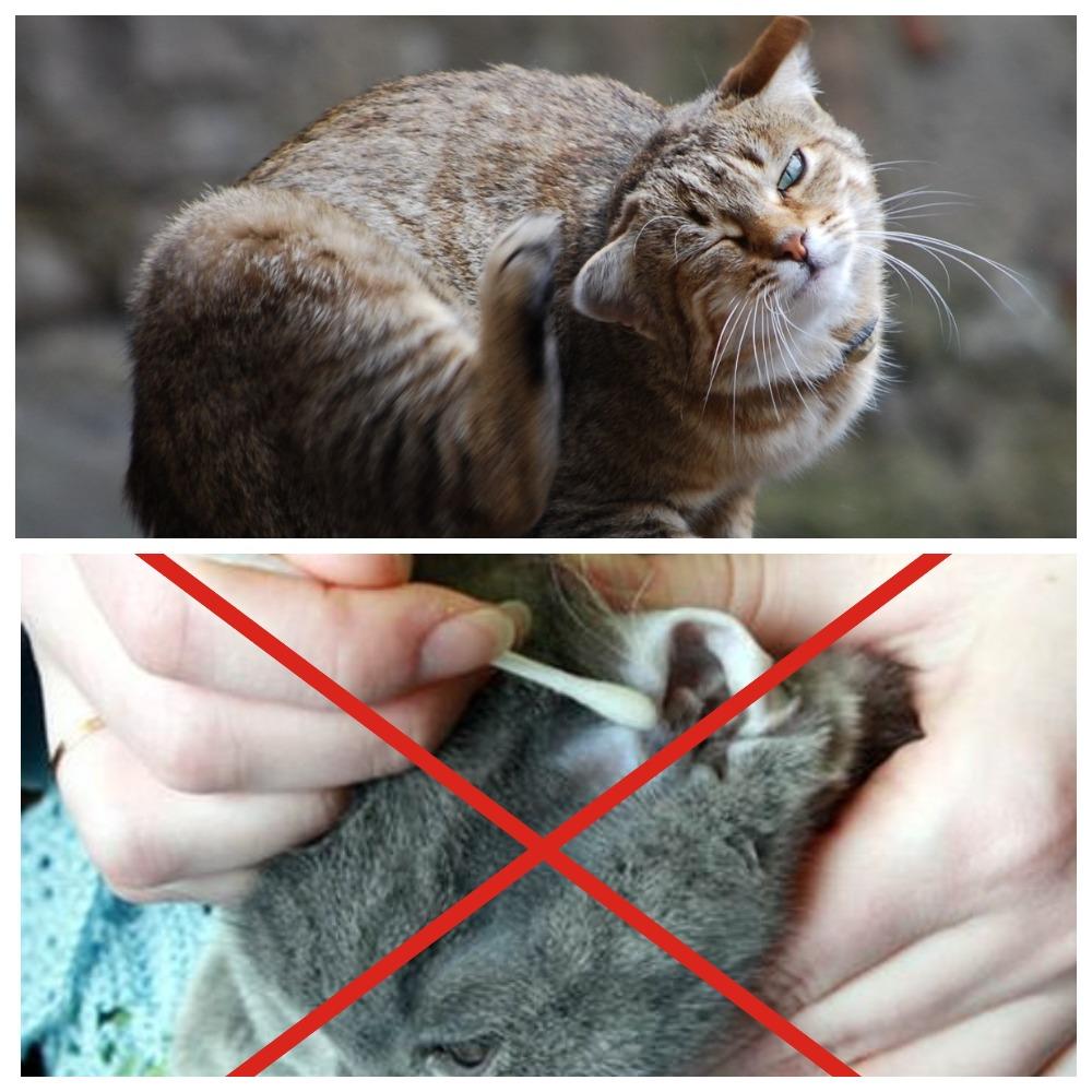 Как выявить отит у кошек
