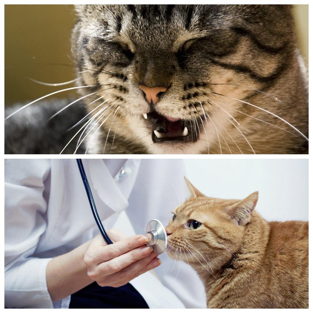 Токсоплазмоз - симптомы у кошек, лечение