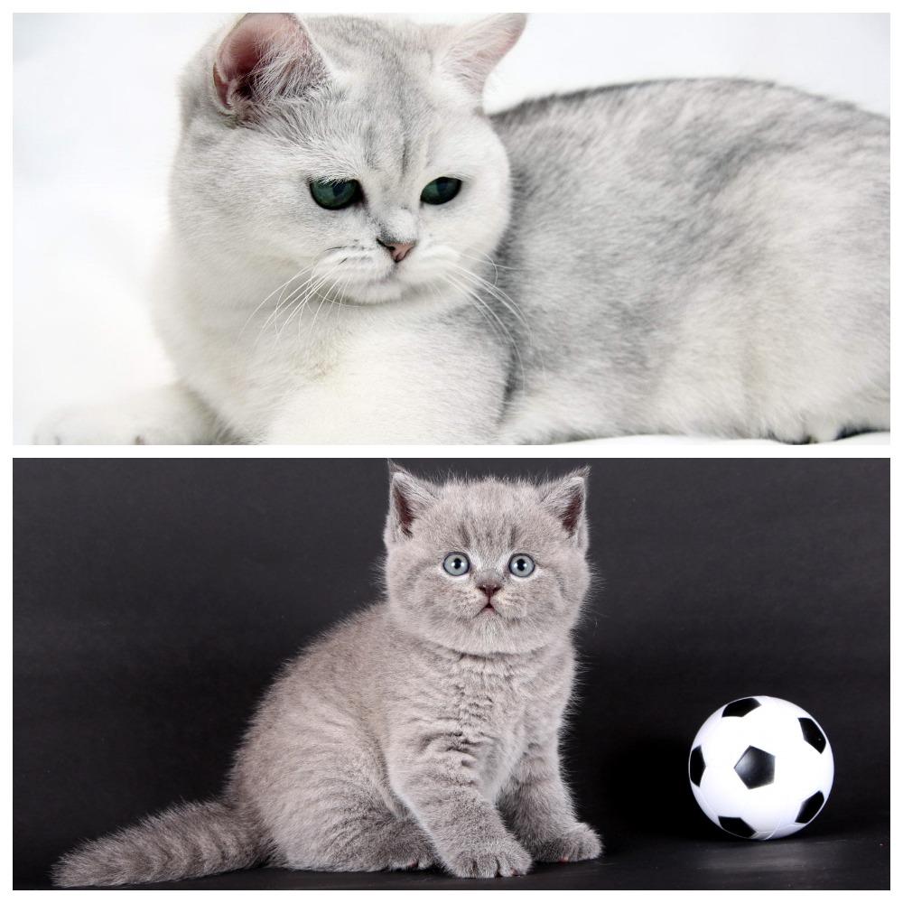 Шотландская и британская кошки