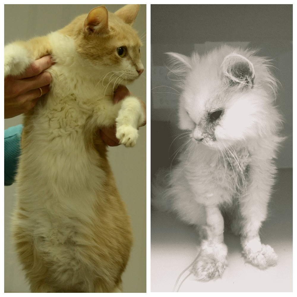 что такое коронавирус у кошек как его распознать вылечить